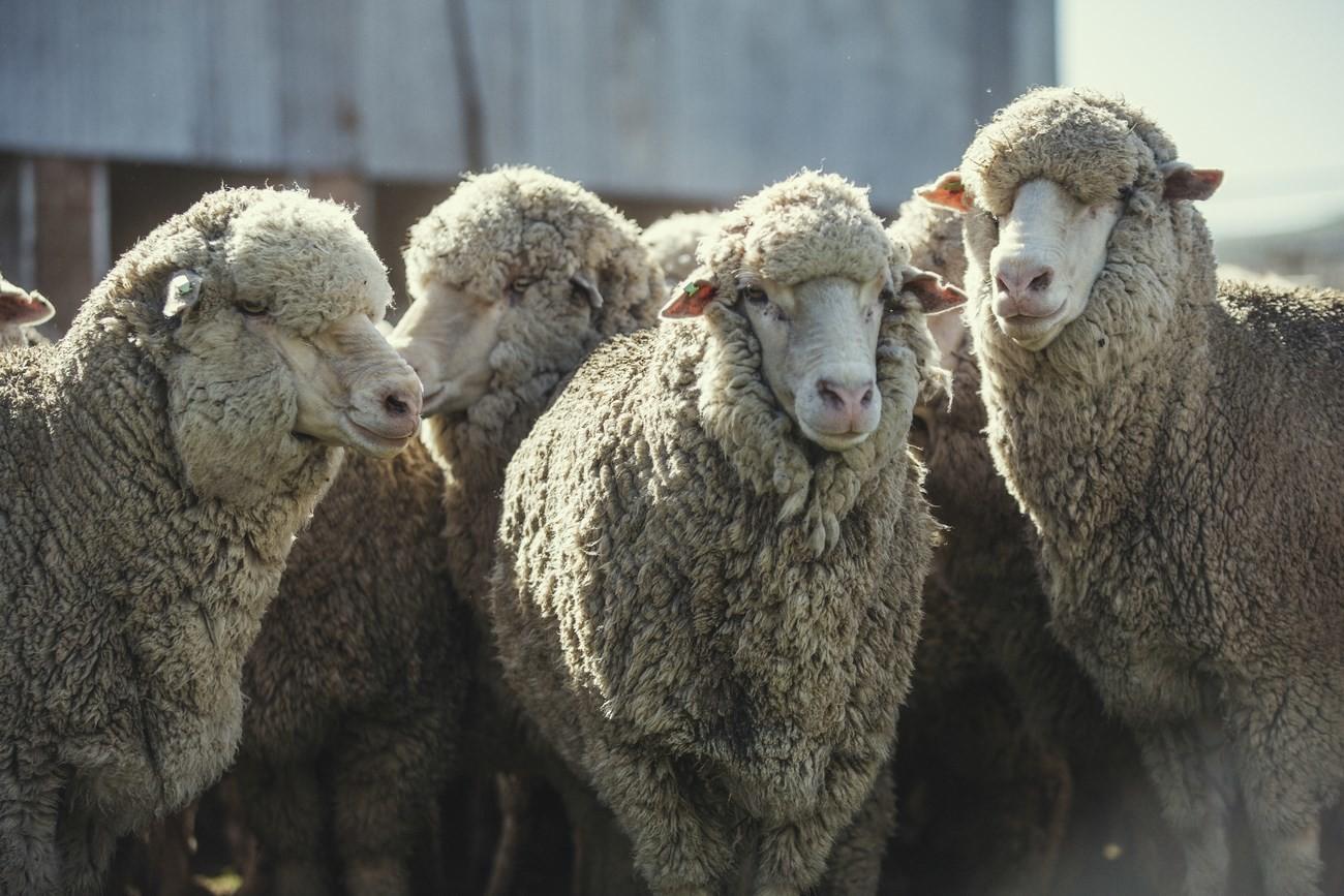 "Strategie pro kvalitu – koncept ""Sheep To Shop"" 26"