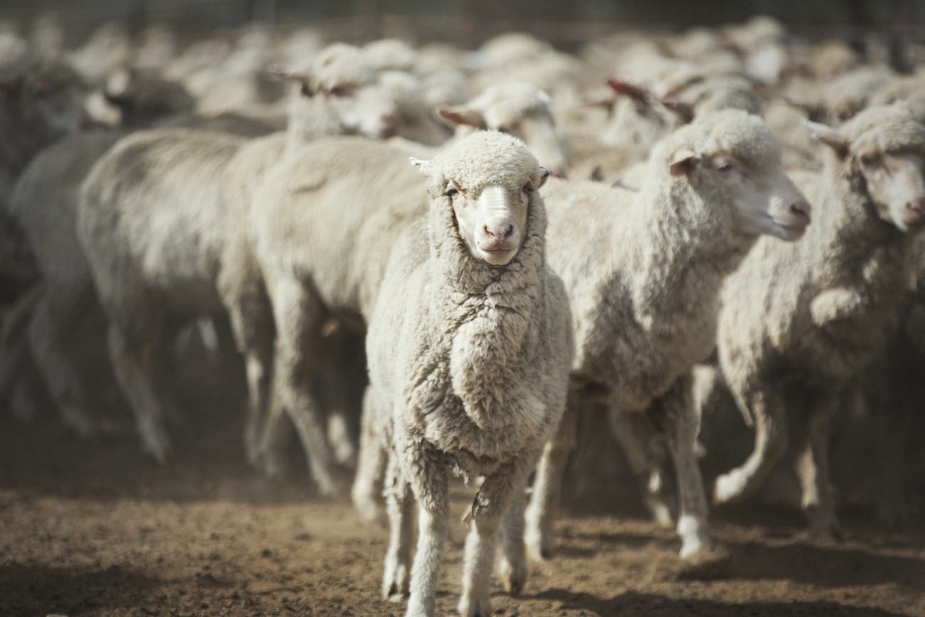 "Strategie pro kvalitu – koncept ""Sheep To Shop"" 16"