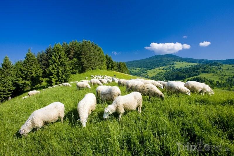 Proč oblékat ovčí vlnu? 5
